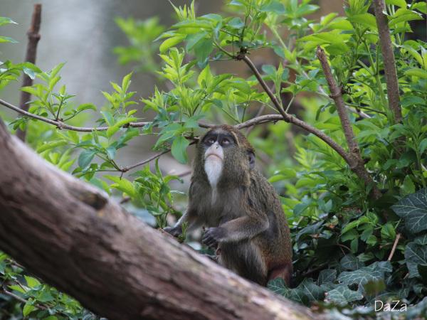 De Brazza´s Monkey