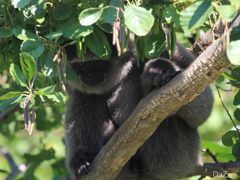 Silvery gibbon