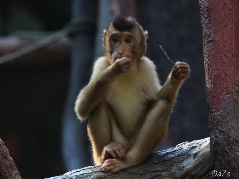 The southern pig-tailed macaque