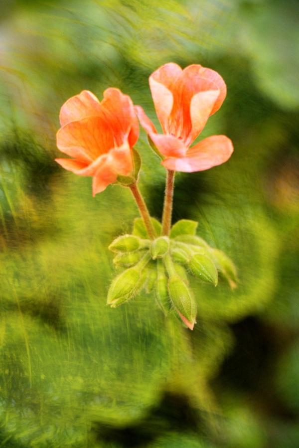 Geranium (Pelagonium x Hortorum)