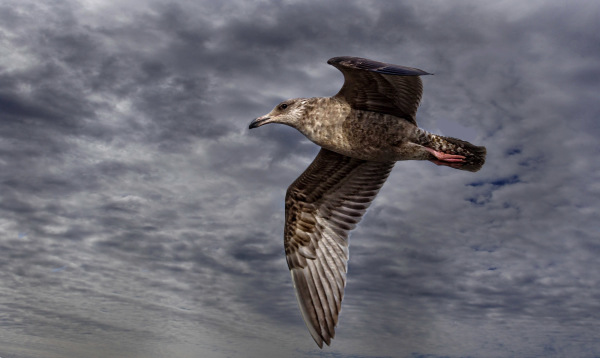Young Gull (3)