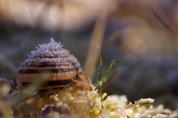 escargot givré
