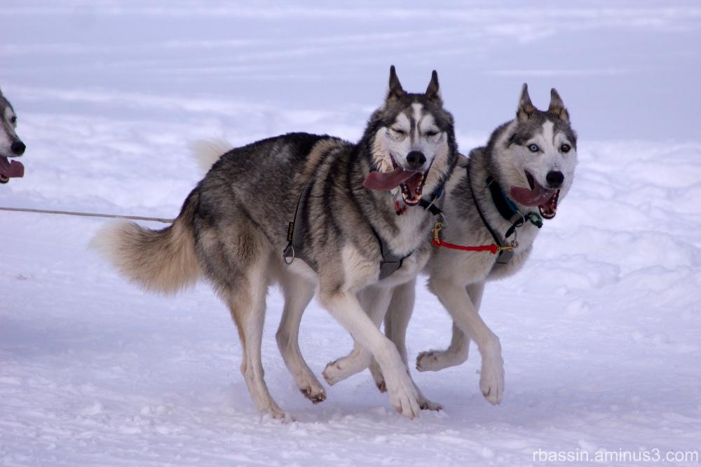 Les Huskies