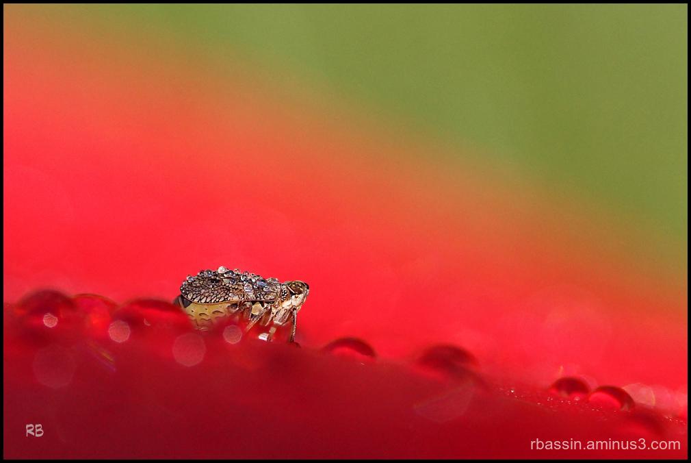 insecte et rosée