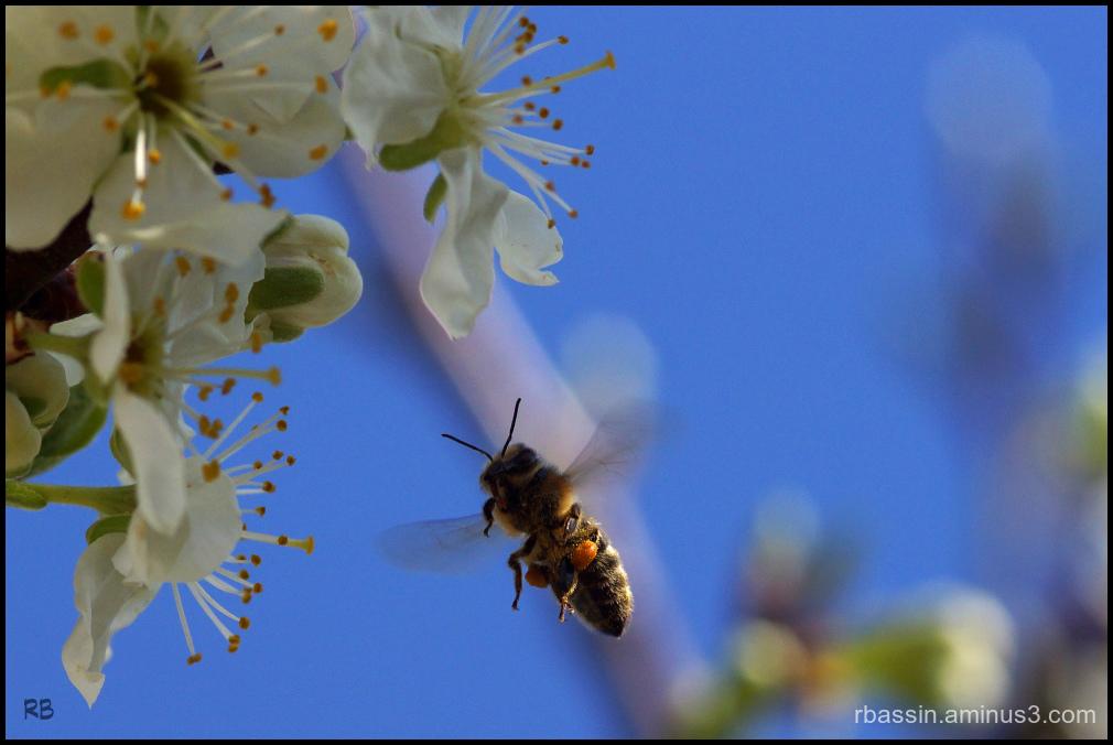 fleurs de Reine-claude