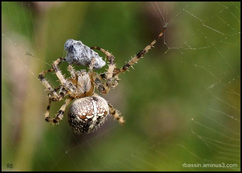 Araignée avec sa proie