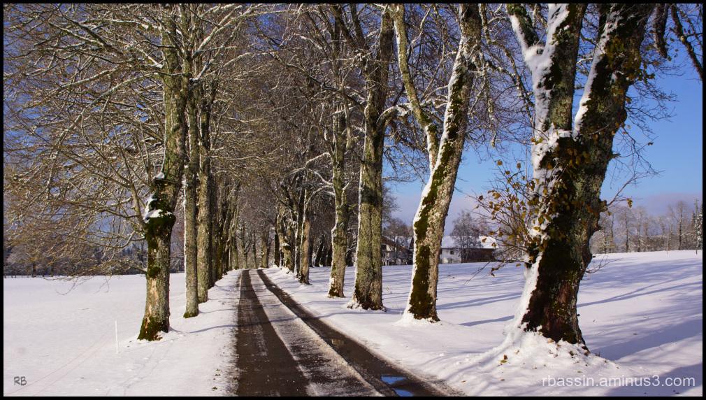 allée d'arbres enneigés
