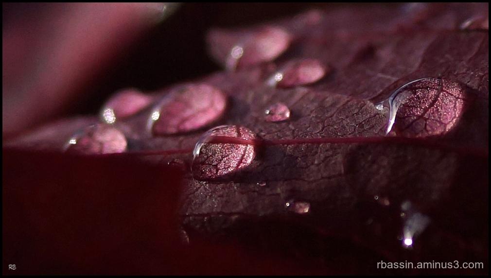 feuille de vigne vierge