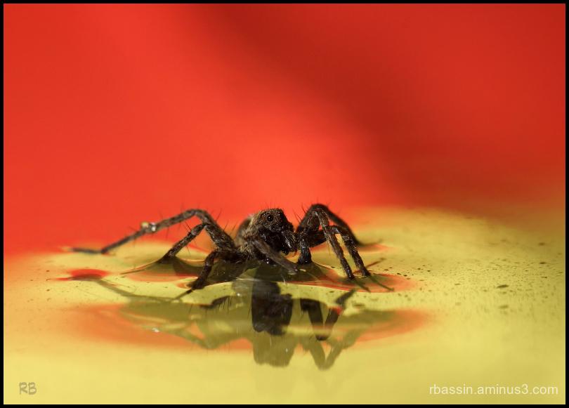araignée piégée par l'eau