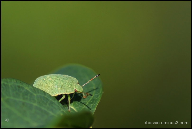 La punaise verte (Palomena prasina)