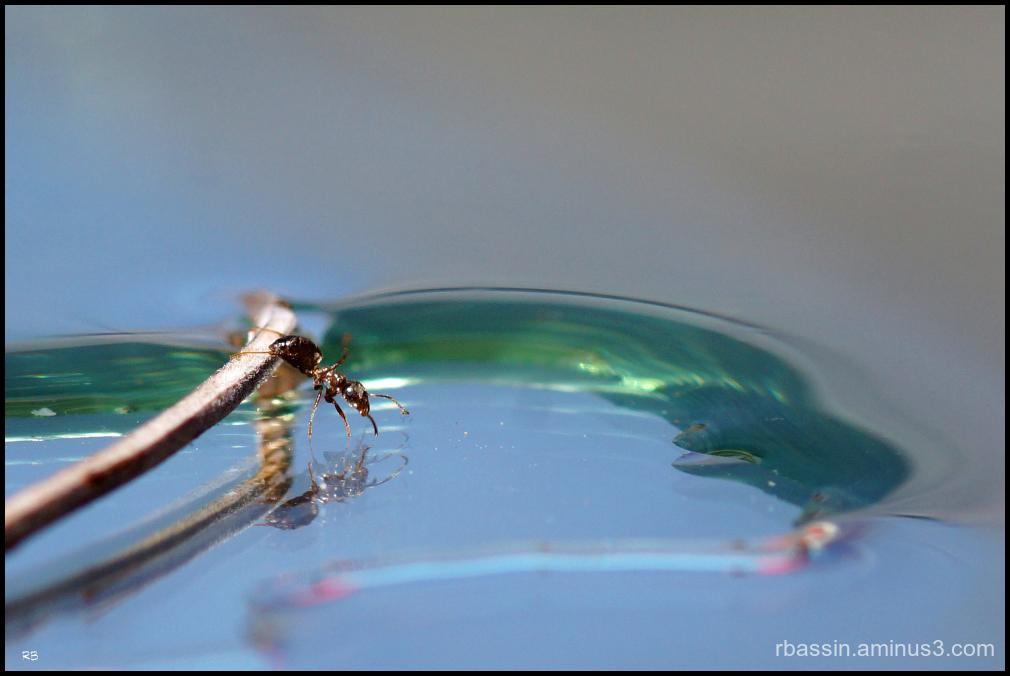 le plongeon de la fourmi