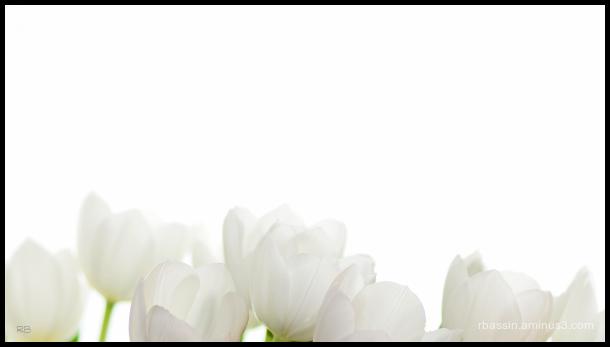 bouquet de tulipes pour le 1er mai