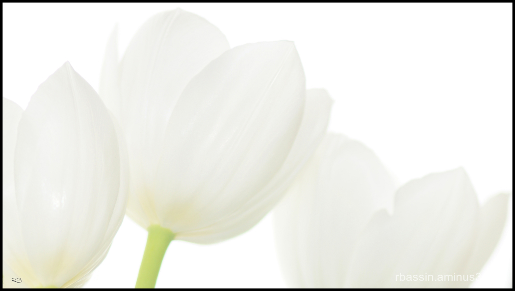 trois tulipes blanches