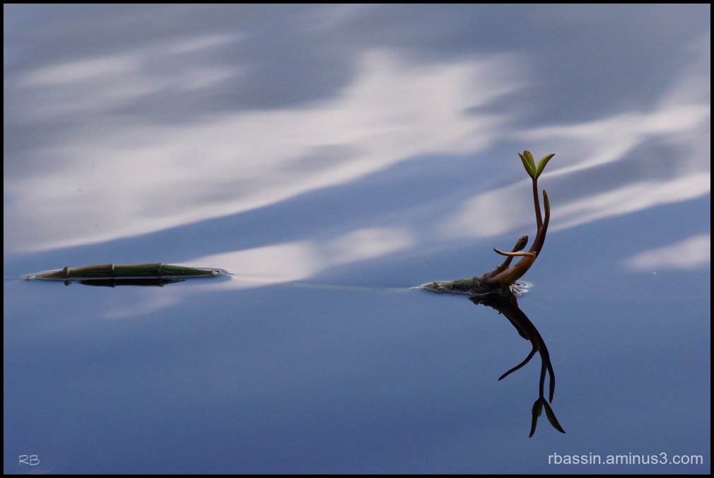 plante aquatique - miroir
