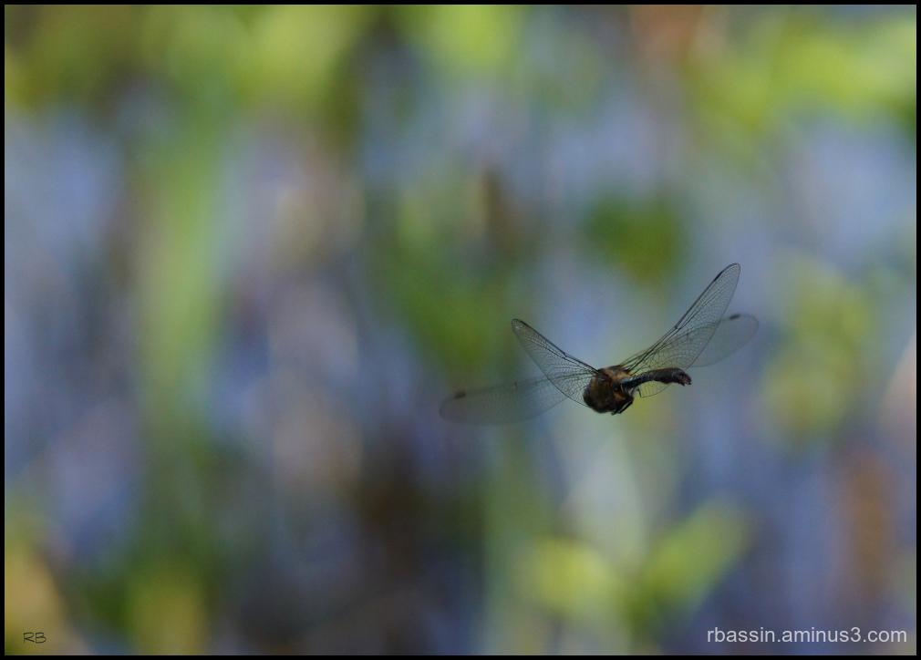 vol de libellule