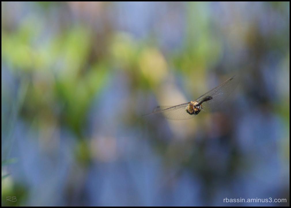 vol de libellule #2