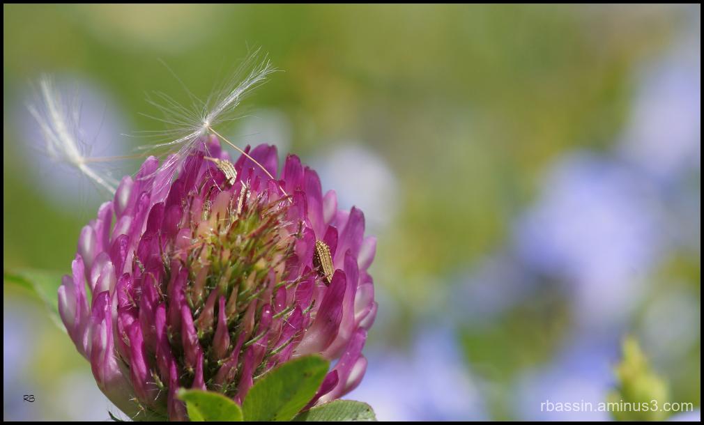 pré  fleuri et l'akène