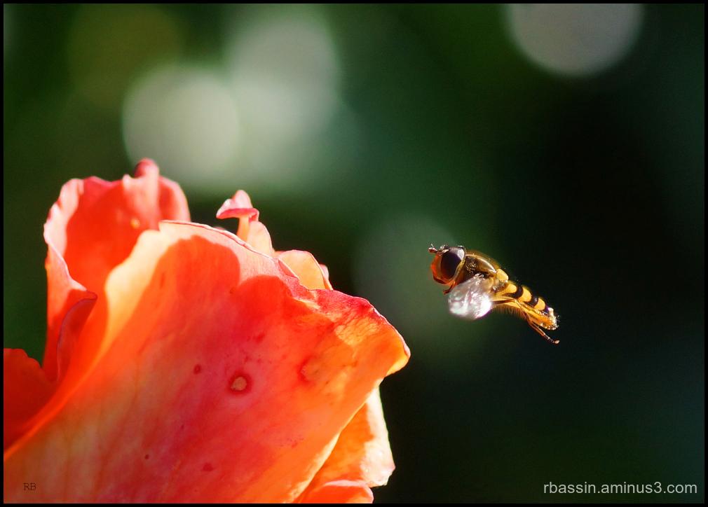 le syrphe et la rose