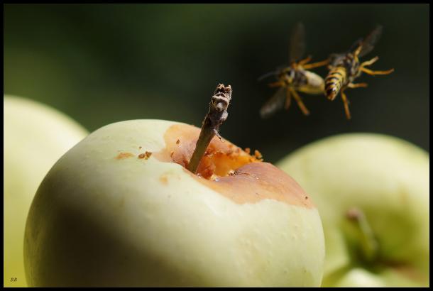 combat aérien pour une pomme
