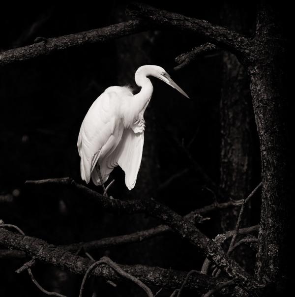 White Egret on the eastern shore.