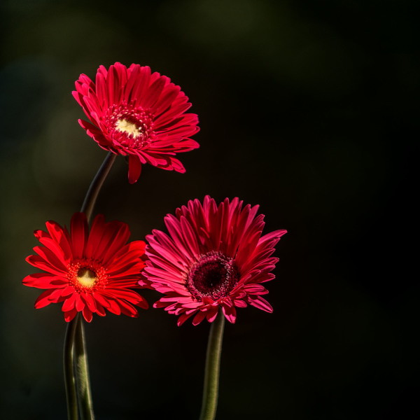 a trio of red Zinnias