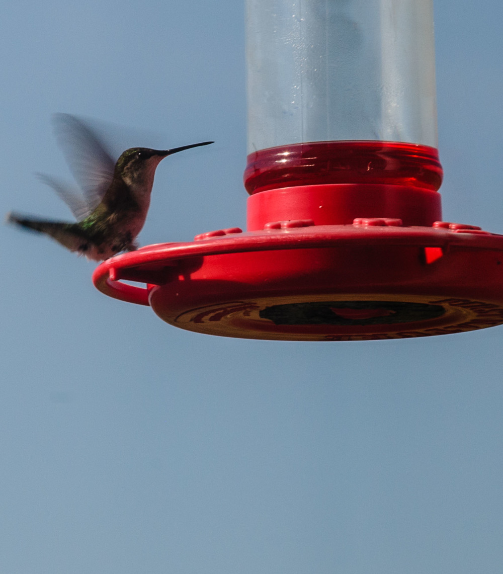 Hummingbird at lunch