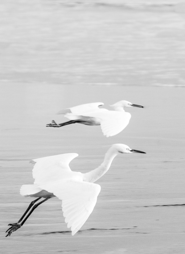 white egrets in flight, central California