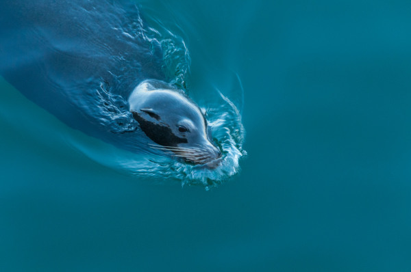 Harbor seal swimming in a blue ocean
