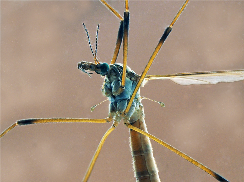 Head of Crane Fly