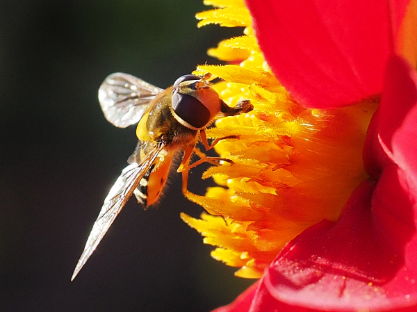 Hoverfly on Dahlia