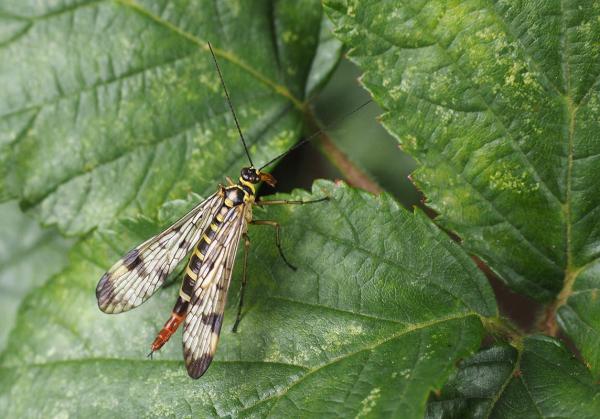 Male Scorpion Fly on Leaf
