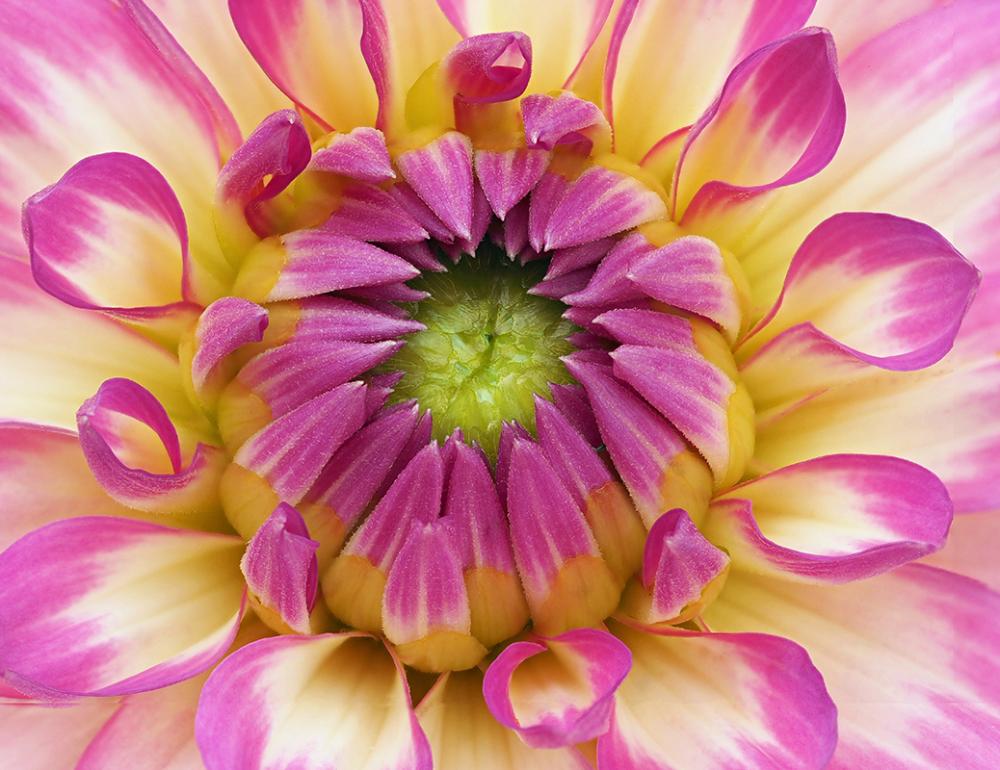 Dahlia Flower Centre