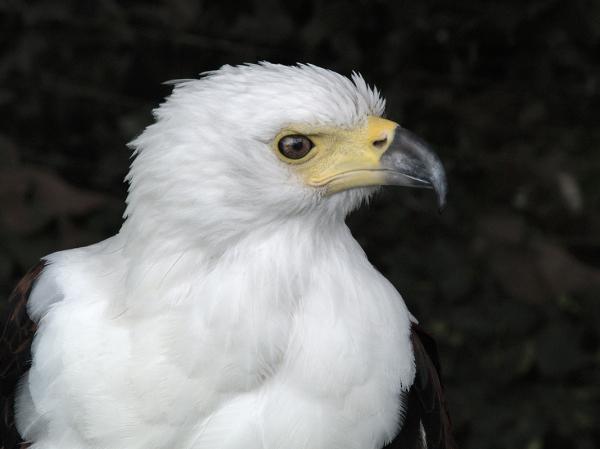 Head of Eagle