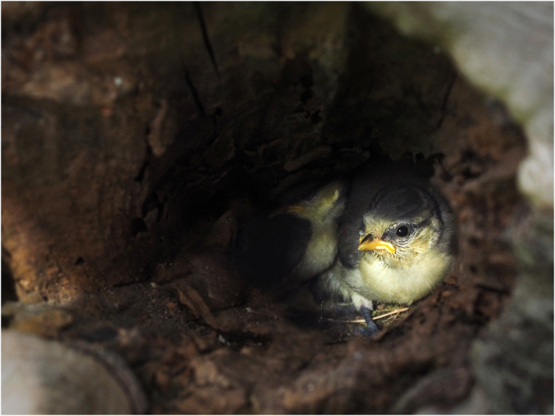 Blu Tit Chick in Nest