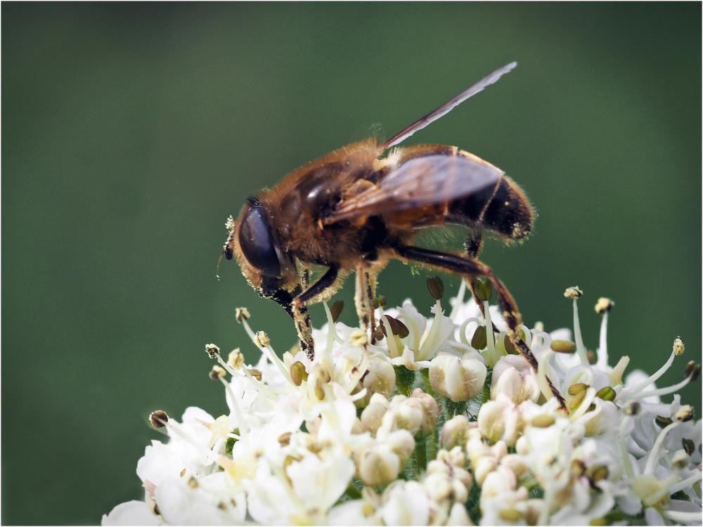 Fly on Flowerhead