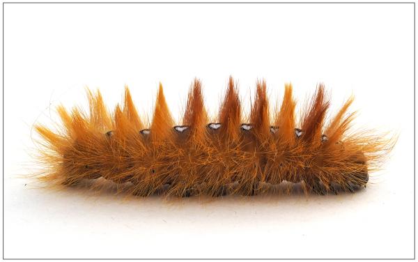 Sycamore Moth Catrepillar