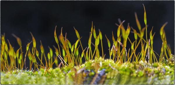 Moss Buds