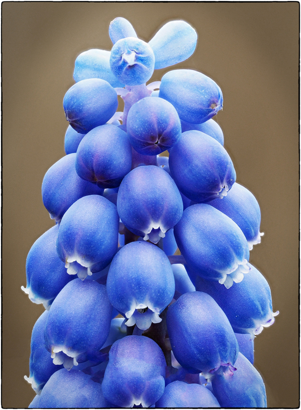Grape Hyacinth Florets_2