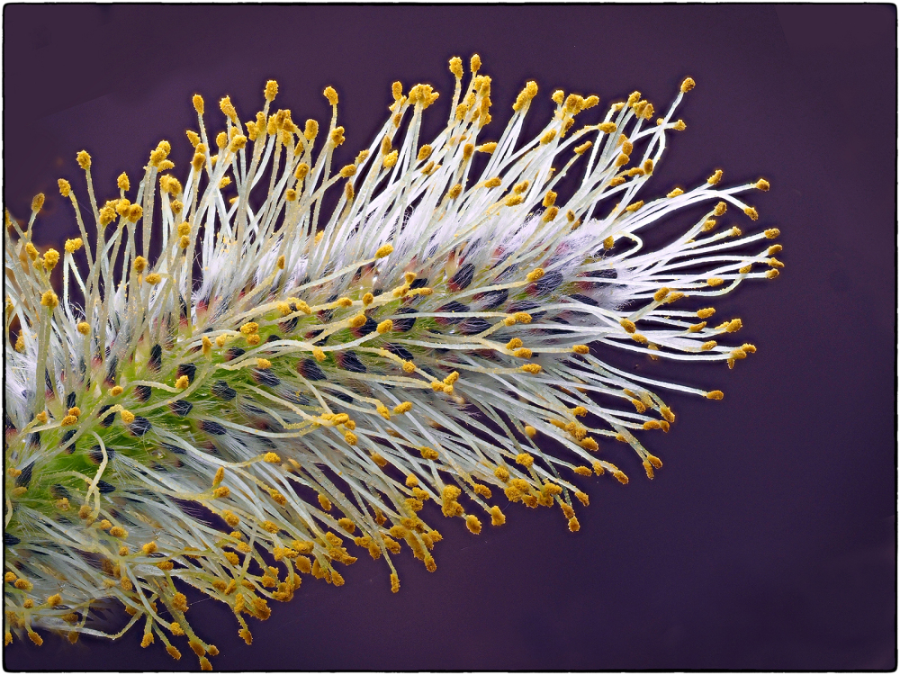 Flower Of Pussy Willow