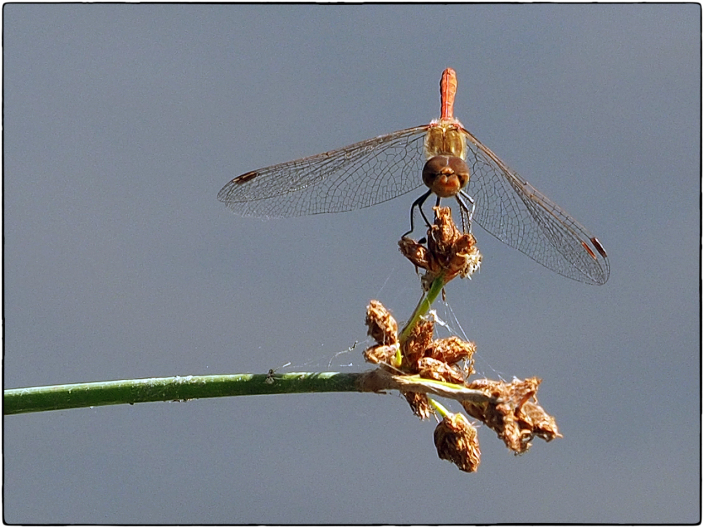 Common Darter at Rest