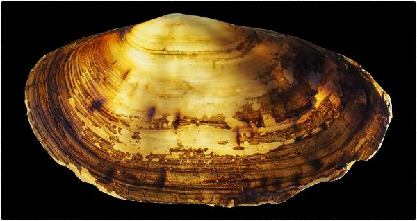 Illuminated Sea Shell