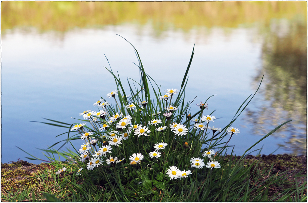 Canalside Daisies
