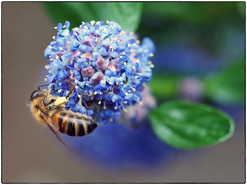 Honey Bee on Ceanothus
