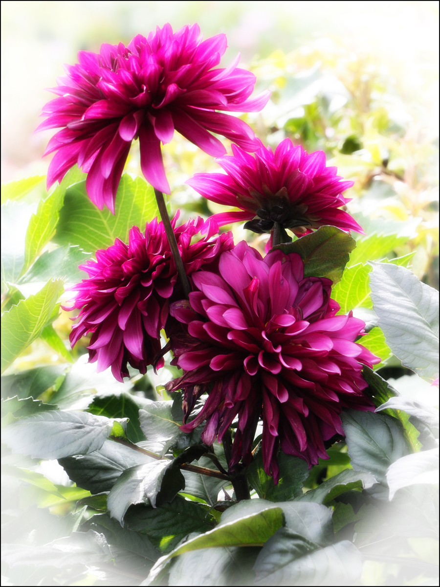 Purple Dahlia No2