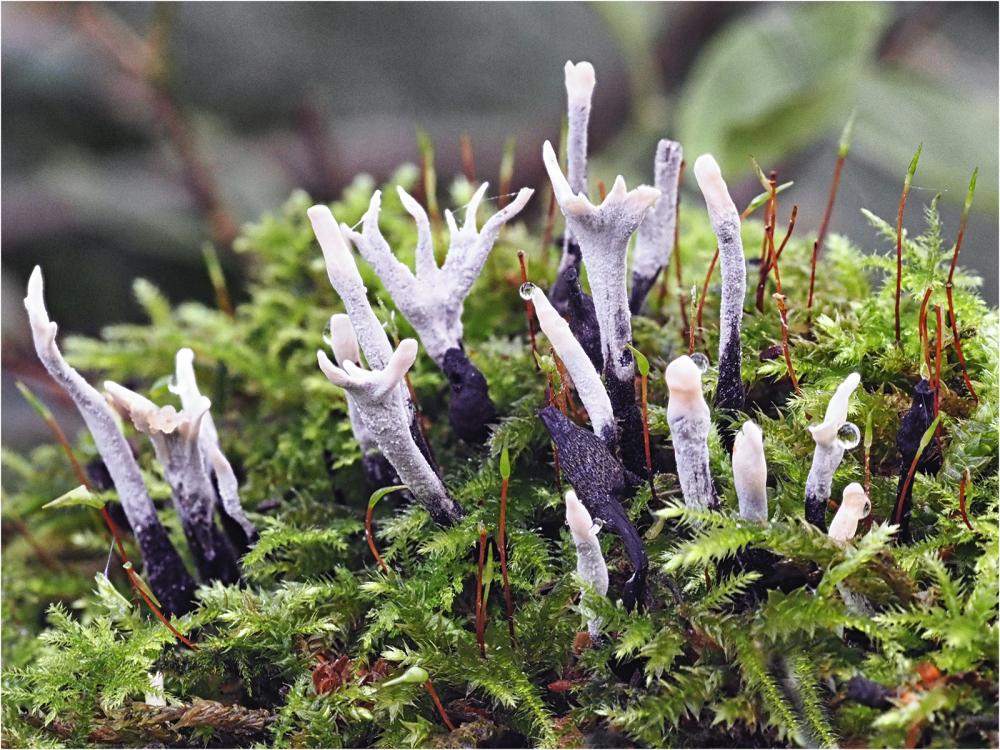 Candlesnuffer Fungus