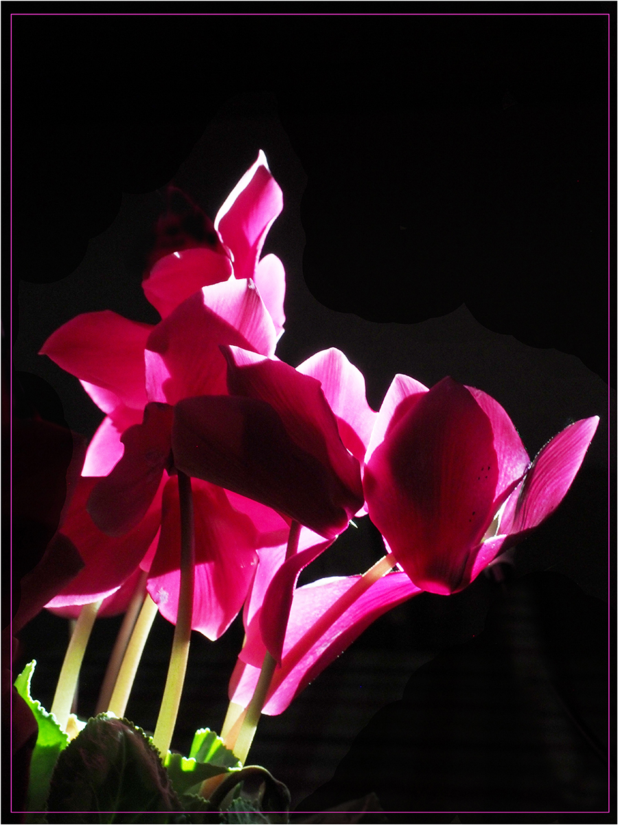 Cyclamen and Light