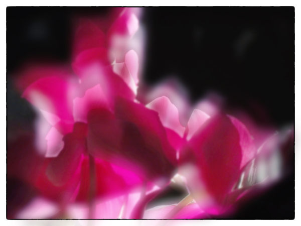 Cyclamen Dream