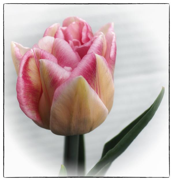 Unfolding Tulip_2
