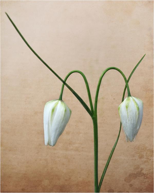 White Fritillary