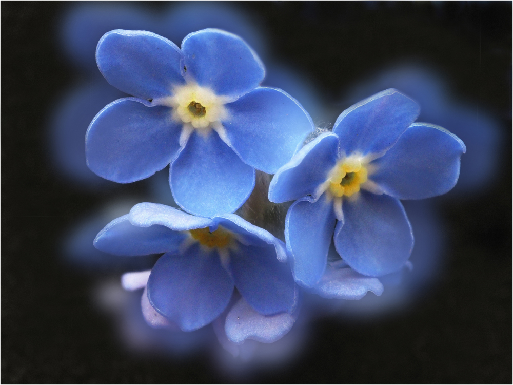 Forget Me Not No 2